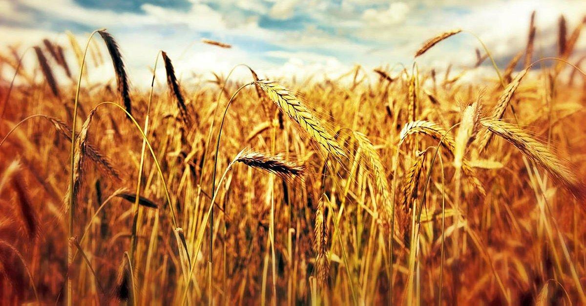 Rüyada Buğday Tarlası Görmek