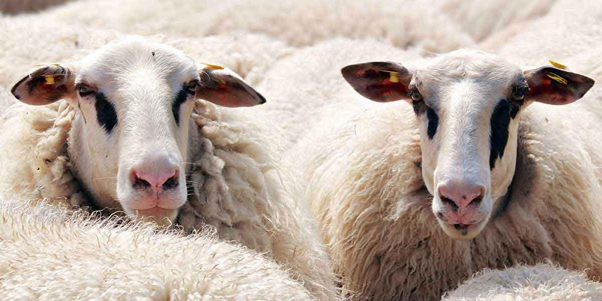Rüyada 6 Koyun Görmek 1