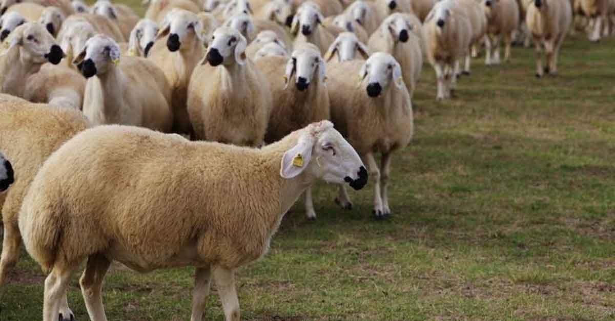 Rüyada 6 Koyun Görmek 2