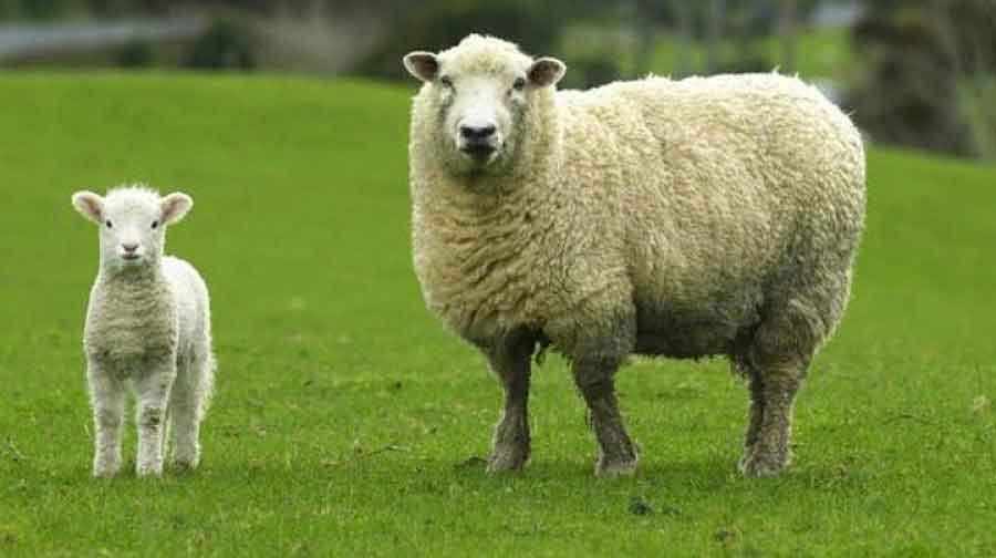 Rüyada 6 Koyun Görmek 3