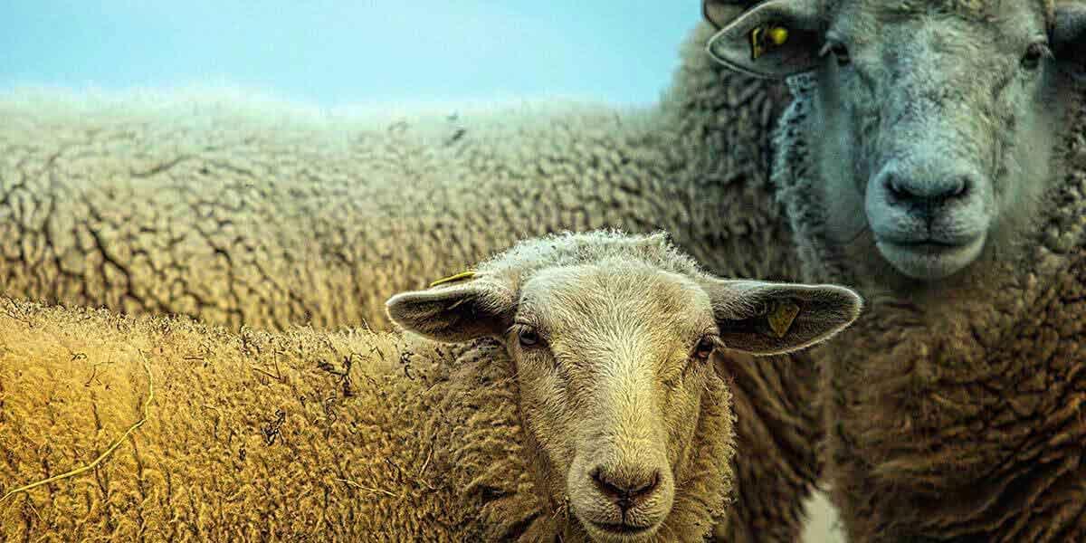 Rüyada 6 Koyun Görmek 4
