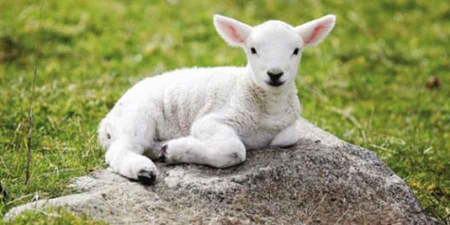 Rüyada 6 Koyun Görmek 6